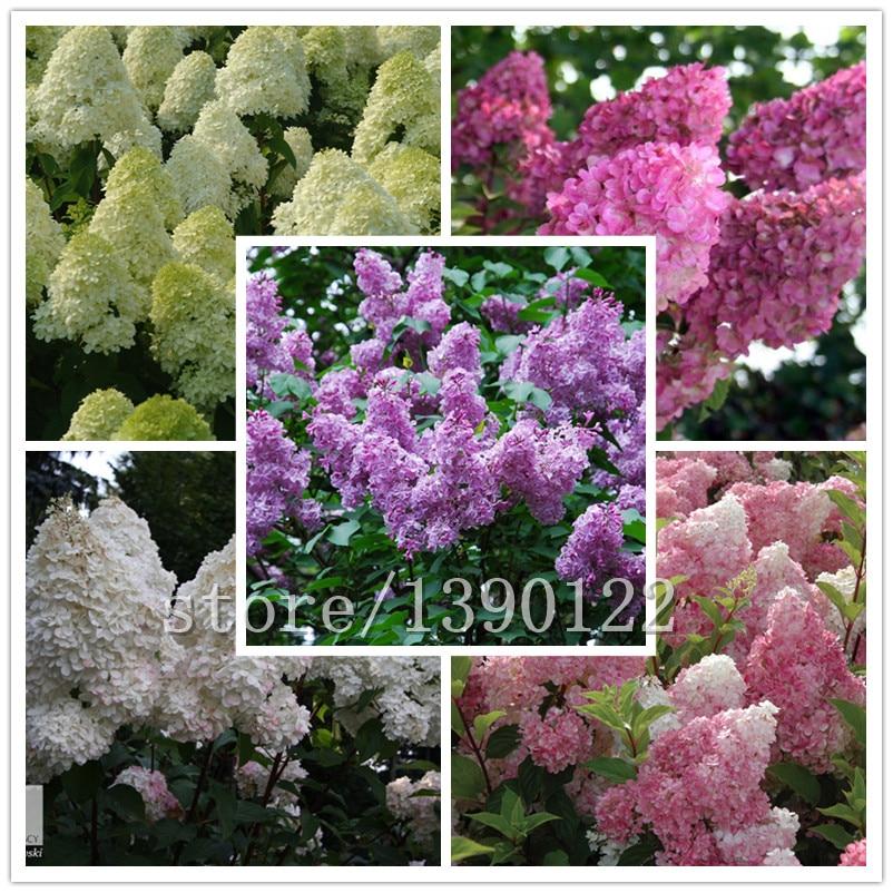 Compra de plantas de vainilla online al por mayor de china - Semillas de hortensias ...