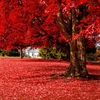 Free shipping 50 particles Beautiful Japanese Red Maple Seeds, DIY home & garden tree seed