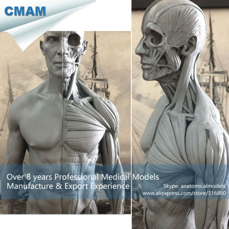 CMAM-PRC01 30cm Human Skeleton Anatomical Model Anatomy Tools Model Skull Head Muscle Bone Medical Artist Drawing cmam viscera01 human anatomy stomach associated of the upper abdomen model in 6 parts