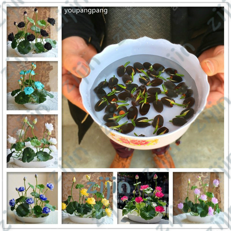 Bonsai Flower Lotus Flower For Summer 100% Real Bowl Lotus Pots Bonsai Garden Plants 5pcs/bag(China)