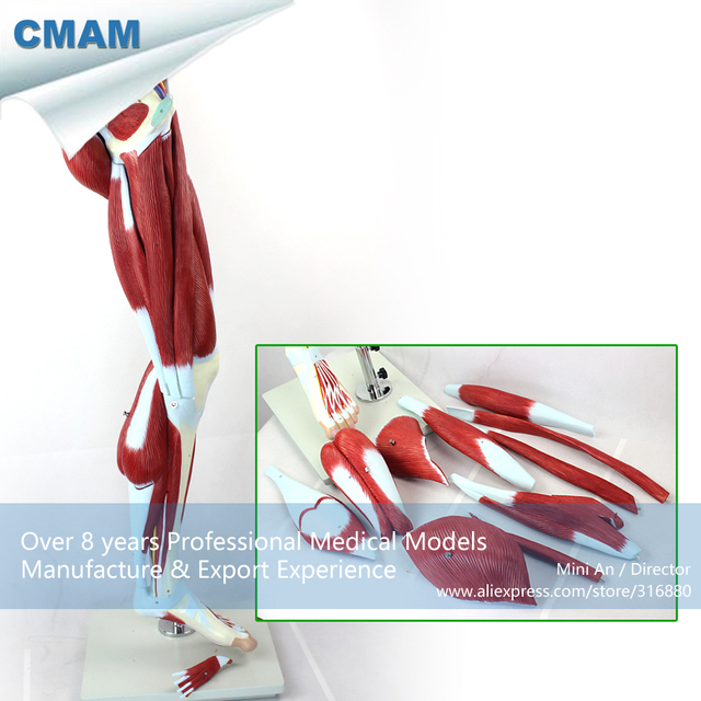 12026 Cmam Muscle04 Human Muscles Of Leg With Main Vessels And