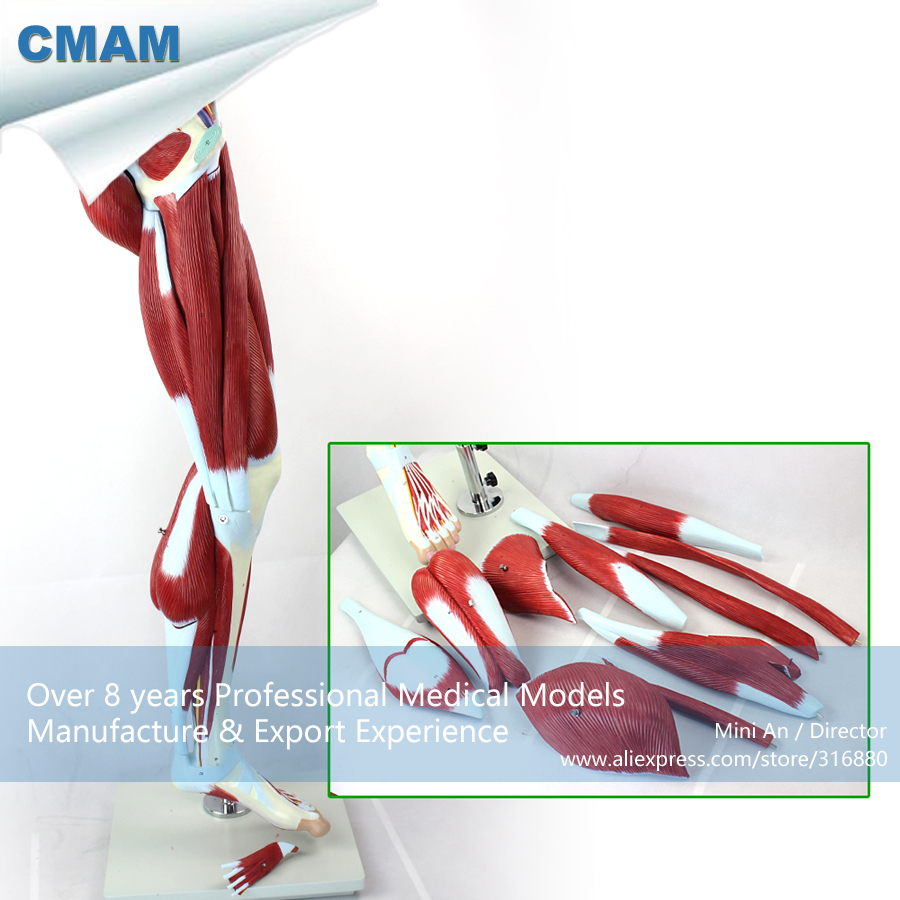 12026 CMAM-MUSCLE04 Human Muscles of Leg with Main Vessels and Nerves , Medical Science Educational Teaching Anatomical Models