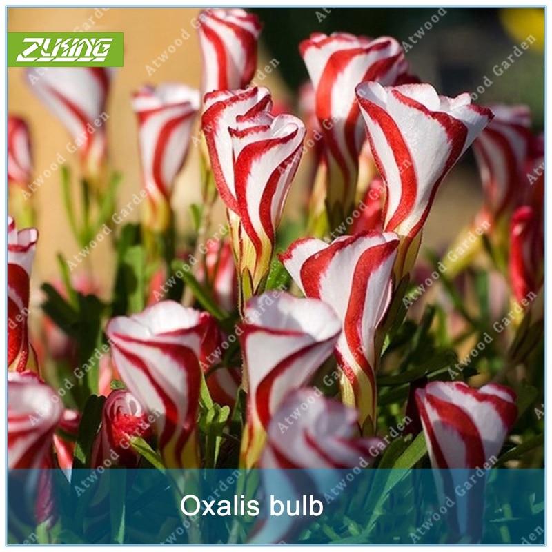 Zlking 10pcs Bottle Brush Tree Bonsai Weeping Bottle Tree Flower Rare Flower Fresh At Any Cost Garden Pots & Planters