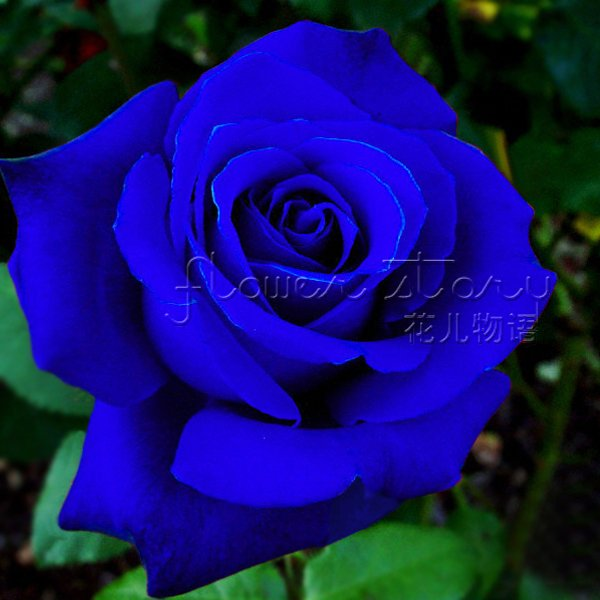 free ship 400 seeds china rare blue rose flower to lover item label
