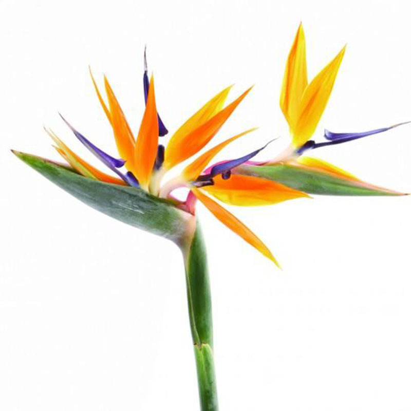 Yellow Colour Bird Paradise Strelitzia Flower Seeds Red DIY Home Garden Potted Bonsia Outdoor Plant Seed 120Pcs