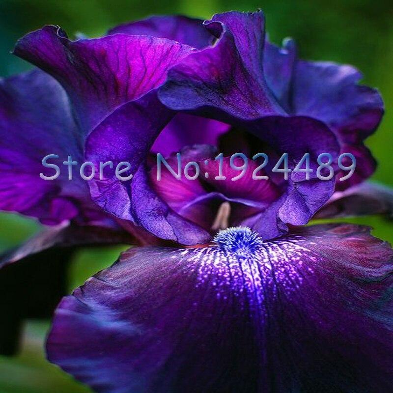 72ae5b574f5ff 50 unids encantadora púrpura + rojo + azul mezclado orquídea del iris  flores semillas potted del jardín del patio de los bonsais