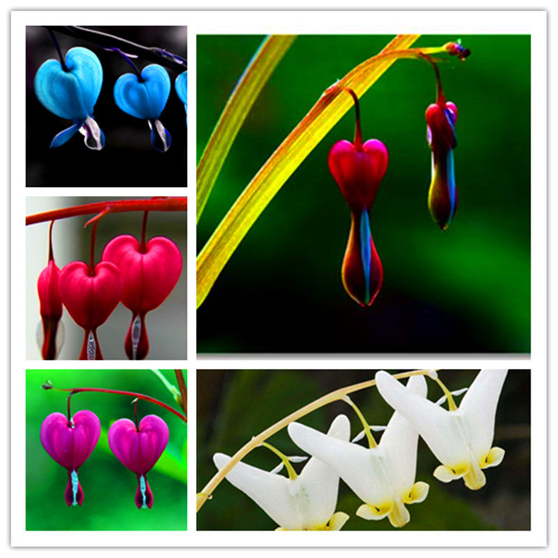 200 Heart Flower Seeds Dicentra spectabilis Purse peony Air Purification bonsa Sweet Heart Wallet Foliage Plant For home garden
