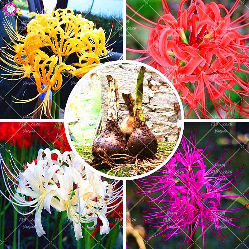 2PCS True Lycoris Radiata Bulbs Bana Bulbs (not seeds) Potted Flower Bulb Indoor Bonsai Plant For Home Garden