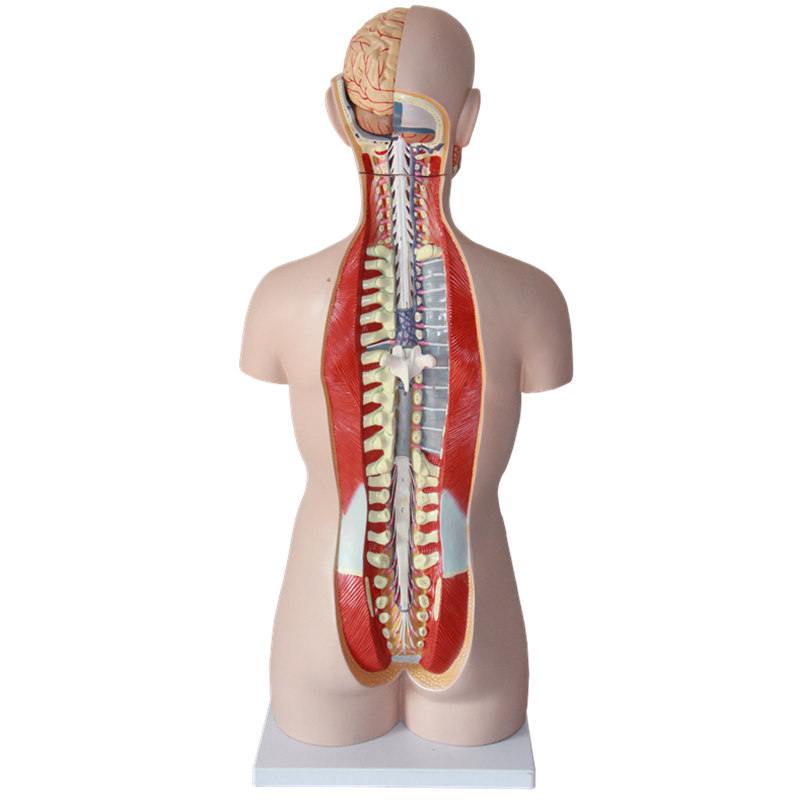 Gemütlich Männliches Fortpflanzungs Anatomie Modell Bilder ...