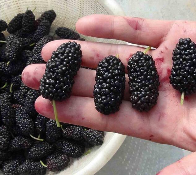 Blackberry rare fruit seeds for home garden planting  grow fast