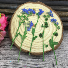 Forget-me-not On Stems Dye Blue Color Natural Dried Flowers For Glass Cup Decoration Wholesales Free Shipment 100 Pcs