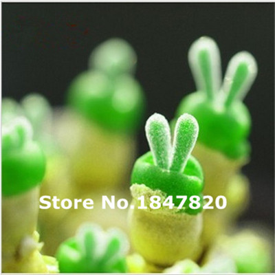 100pcs Lithops Pseudotruncatella green Bunny seeds Stone Flower Seeds Bonsai plants Seeds for home & garden