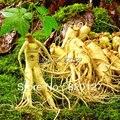 30 Semillas Estratificado Chino resistentes Panax Ginseng Ginseng Corea Semillas, Semillas de Hierbas, Cultivar sus propias Raíces de Ginseng
