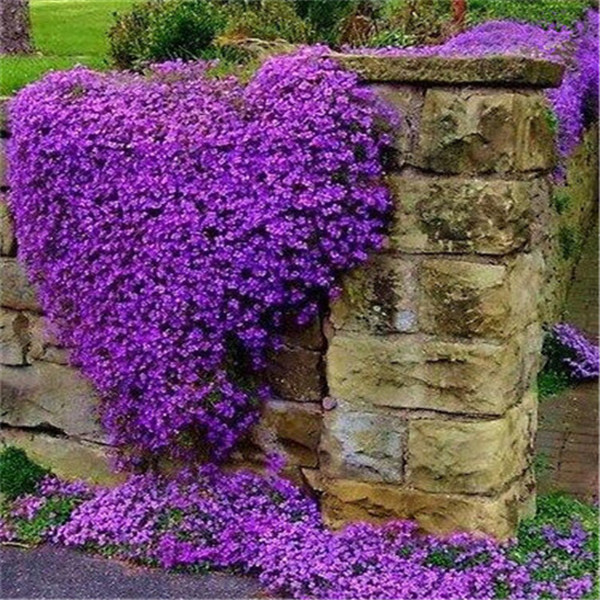 100/Rock Cress,Aubrieta Cascade Purple FLOWER ,Deer Resistant Superb Perennial Ground Cover,flower/home Garden