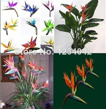 30 pcs Flower pots planters seeds Strelitzia reginae seed hybrid bird paradise Sementes Bonsai plants for home * garden orchi