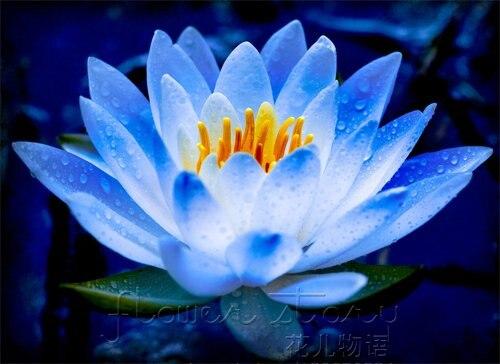 Fumer du lotus bleu