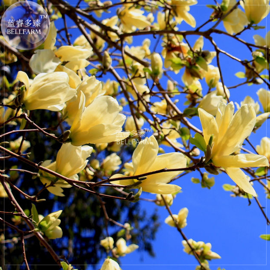 Online Shop Bellfarm Yulan Magnolia Tree Seeds 10 Seeds