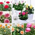 Продажа шт. бонсай многолетний шт. Роза 100 розы цветы Крытый карликовые деревья цветок Роза Дерево ароматный восхождение растения для дома садовое насаждение - фото