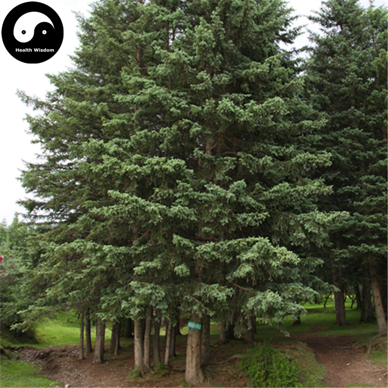 Buy Picea Asperata Fir Tree Semente 240pcs Plant Spruce Tree Chinese Yun Shan New Varieties Are Introduced One After Another Garden Supplies Garden Pots & Planters