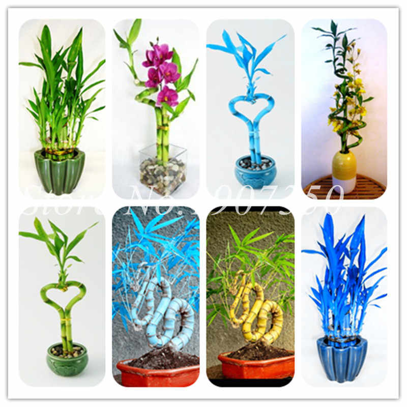 Big Promotion ! 50 Pcs Fresh Indoor Lucky Bamboo Bonsai House Good Luck Bamboo Pot 100% True Potted Plant For Home Garden