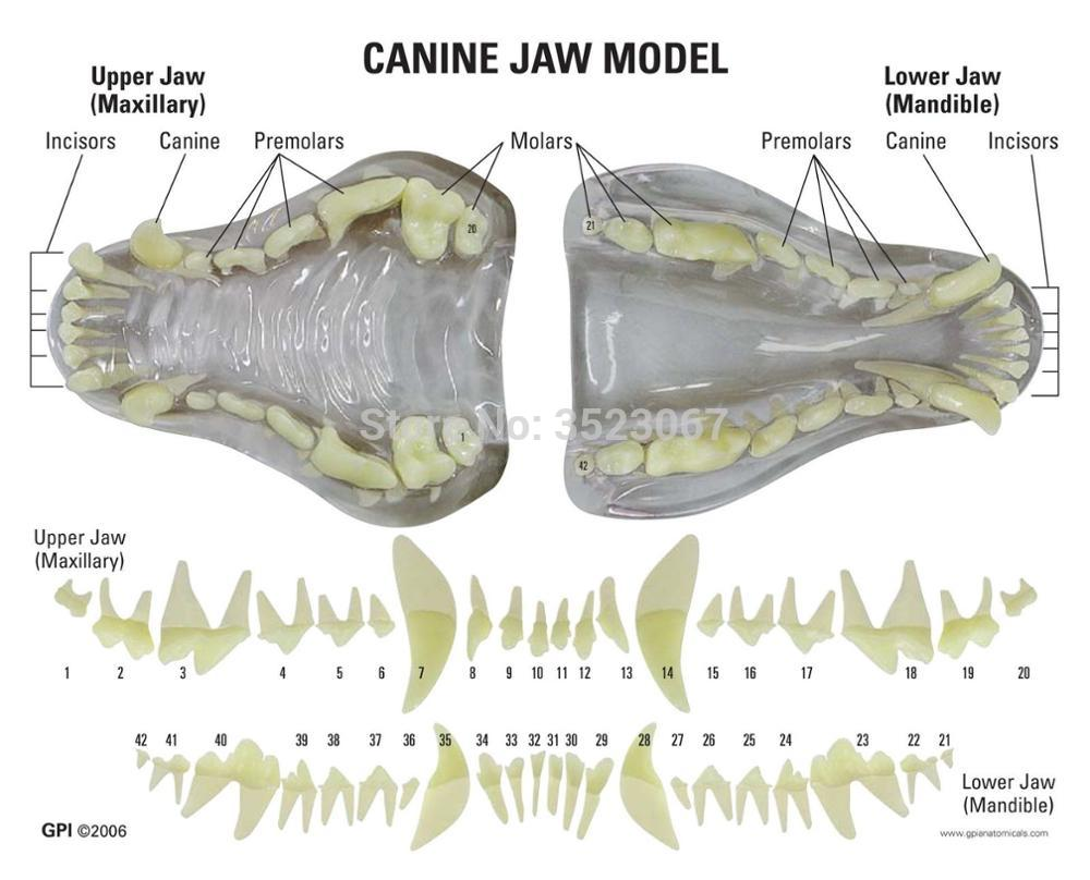 Anatomical Canine Pathology Jaw Model Medical Dog Mouth and Teeth ...