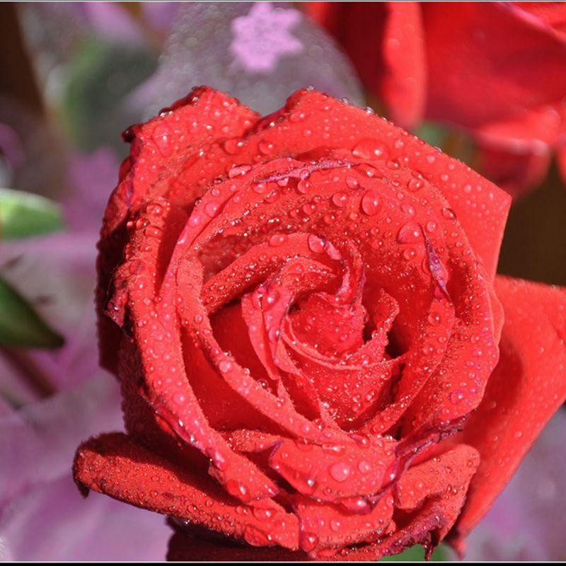 25 Arten Von Rosen 500 Samen Diy Hause Gartenarbeit Garten