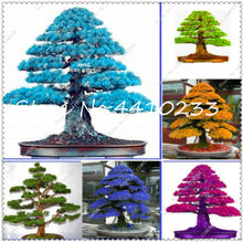 100% True Sacred Japanese Cedar Bonsai Plant Evergreen Deodara Wood Indoor Potted Professional Pack 20 Pcs(China)