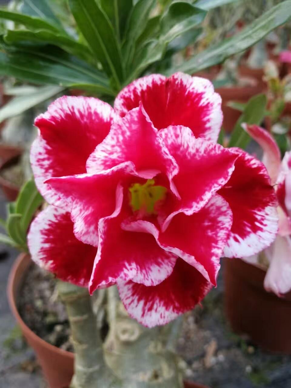 5 SEEDS 100% Genuine Fresh Rare Adenium Obesum Seeds Bonsai Desert Rose Flower Plant Seeds (N ...