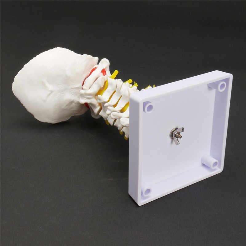 18 Cm Ukuran Hidup Vertebra Serviks Arteria Tulang Belakang Saraf Tulang Belakang Model Anatomi Sekolah Medis Pendidikan Belajar Mengajar Model