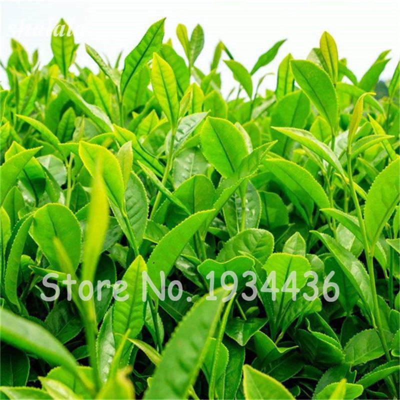 10 шт. китайский Зелёный чай дерево бонсай завод елка в горшке цветочных растений для дома и сада лес Grove вечнозеленые деревья Высокая всхоже...
