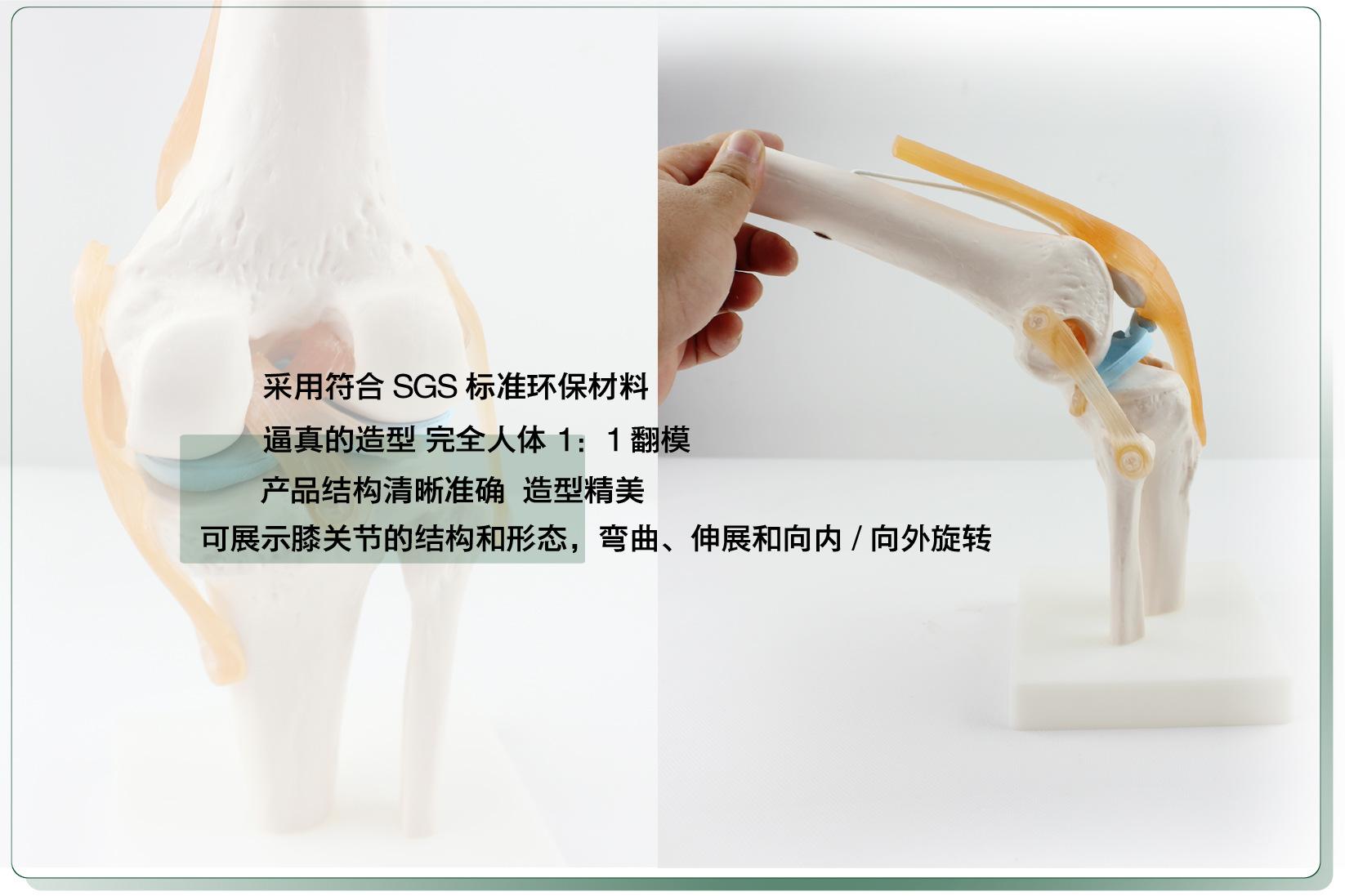 Week's Model Knee skeleton 2