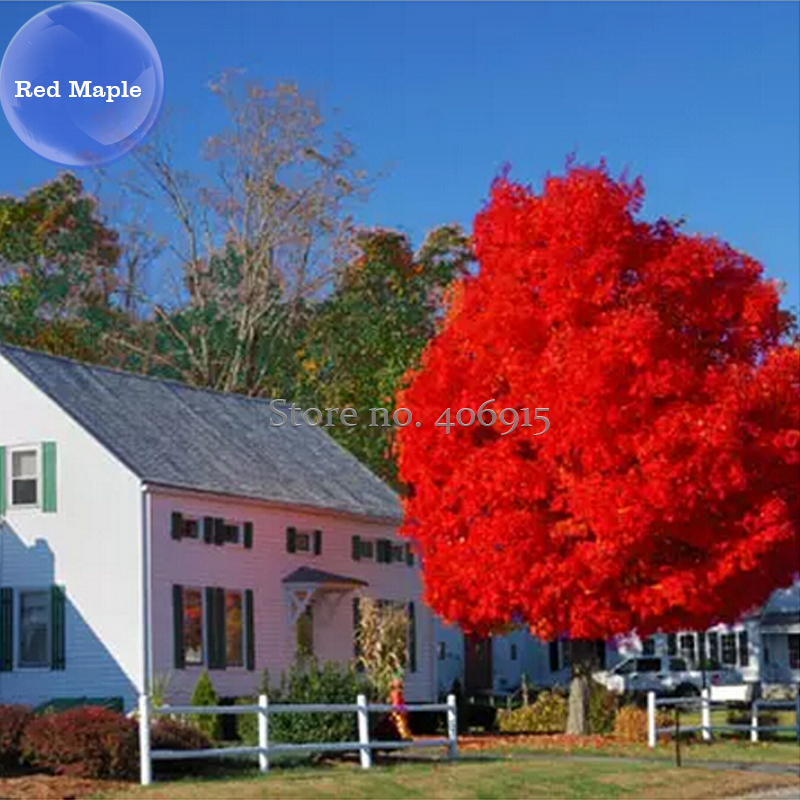 Acero rosso acquista a poco prezzo acero rosso lotti da for Acero rosso canadese prezzo