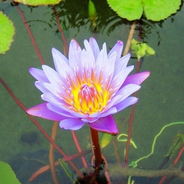 2 Seeds Pack Blue Lotus Flowers Nymphaea Caerulea Asian Water