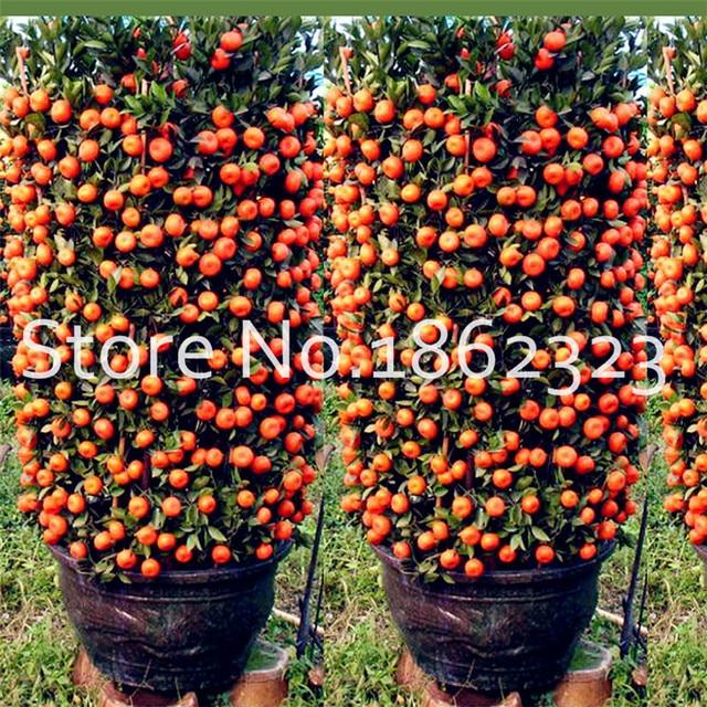 Bonsai 30 pz Agrumi pianta Bonsai Mandarin Orange flores Commestibile Frutta Bonsai Albero plantas Cibo Sano Giardino di Casa Facile da crescere