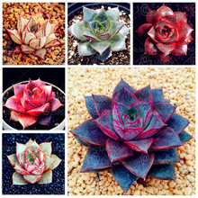 500Pcs Exotic Echeveria Purpusorum Bonsai Fresh Succulent Plant Indoor Potted Flowers Home Garden Succulents Plants
