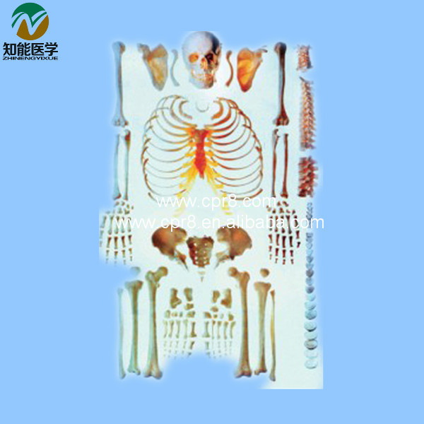 Life-size Human Scattered Bones Models BIX-A1006  MQ044 plastic standing human skeleton life size for horror hunted house halloween decoration