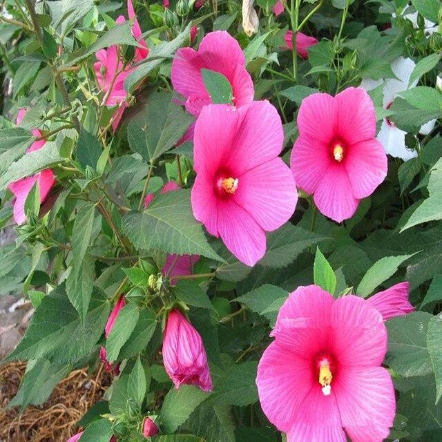 Aliexpress.com: Acheter Géant Hibiscus Graines De Fleurs de Jardin ...