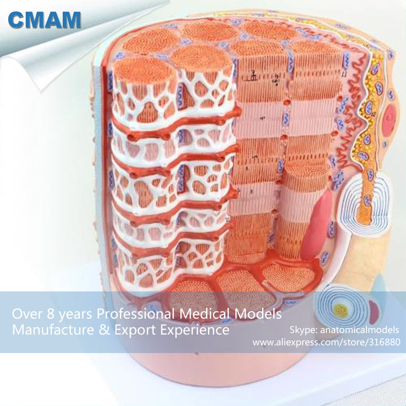 CMAM-HEART20 Microscopic Amplification Of Human Muscle Fiber Model , Medical Science Educational Teaching Anatomical Models dna double helix model with base genetic dna model and microscopic model of large dna teaching simulation model gasen rzwg010