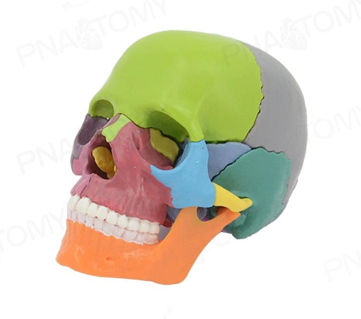Free shipp 4D Color disassembled skull anatomical model for medical teaching art sculpture dental model
