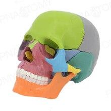 И 4D Цвет разобранный череп анатомическая модель, для медицинского обучения, Художественная Скульптура, Стоматологическая модель
