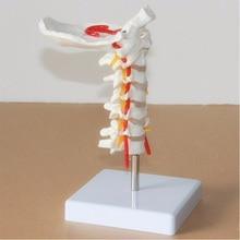 Rozmiar życia ludzki Model anatomiczny Model kręgu szyjnego kręgosłup szyjny z tętnicą szyjną potyliczny dysk kostny i Model nerwu