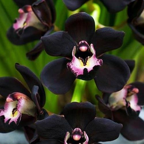 100 PCS Unique Black Cymbidium Faberi Flower Seeds Garden Flower Seeds Flowering Plants Orchid Flower Seeds