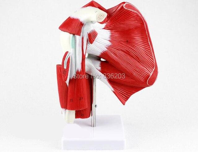 Anatomía Humana esqueleto avanzada musculoso articulación del hombro ...