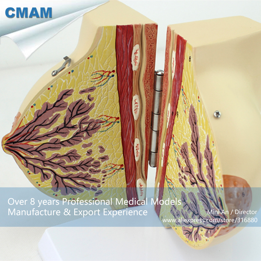 CMAM-ANATOMY21 Female Breast Section Anatomical Model in Resting Period,2 Parts, Anatomy Models > Resting Stage cmam viscera01 human anatomy stomach associated of the upper abdomen model in 6 parts