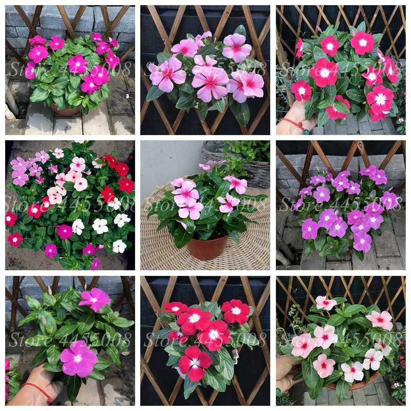 100 Pcs Mixed Color Periwinkle Bonsai Flower Vinca Cover Behind House Jardin Flore Potted Mini Garden Plants for Flower Pot