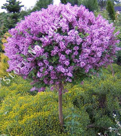 Lilac Flower Tree Seeds, 50pcs/bag Perennial Garden Aromatic Plant Seeds