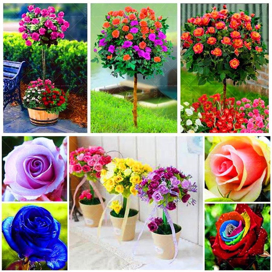 Hot sale!!100pcs/bag rose tree,Mixed color rose seeds bonsai flower ...