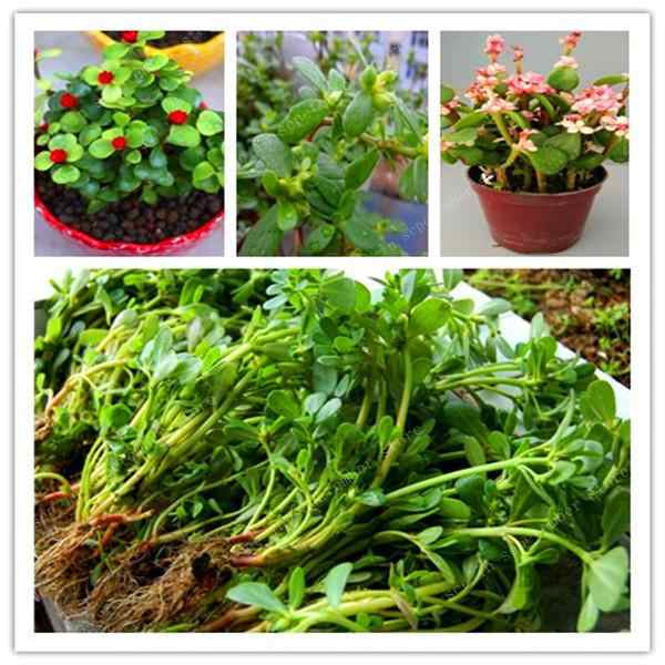 500 Pcs Mixed Color Moss-Rose Purslane Double Bonsai Flower For Planting (Portulaca Grandiflora)Garden Tolerant Easy Growing