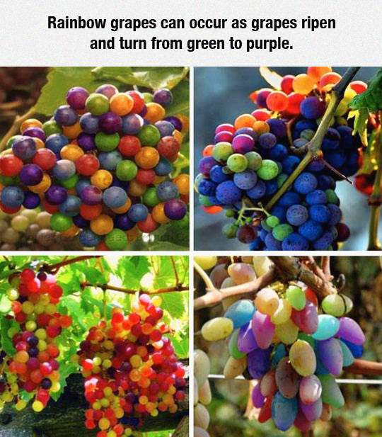 радуга виноград