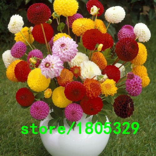 Hot Sale Multi-Colored Dahlia Seeds Beautiful Fireball Dahlia Pinnata Seeds DIY Home Garden Bonsai Plant 100PCS Free shipping